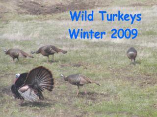 TurkeysW3.jpg